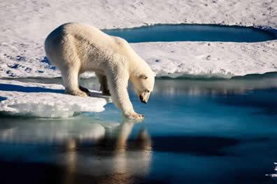 Image result for polar bear sea ice