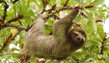 Image result for tropical rainforest sloth