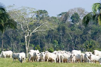 Image result for cattle ranch rainforest